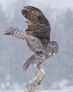 Great-Grey-Owl_Strix-nebulosa_Chouette-lapone_GGOW_CDODDS_16I811