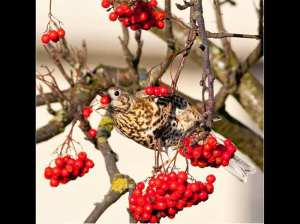 Mistle-Thrush-Feeding